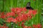 彼岸花(ヒガンバナ)と曼珠沙華(マンジュシャゲ)は同じ花。気になる花言葉は