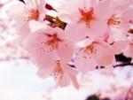 桜の開花日が、素人でもカ~ンタンにわかる「600度の法則」とは