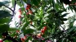 「さくらんぼ」は桜の木の実の事? そんな疑問に答えます